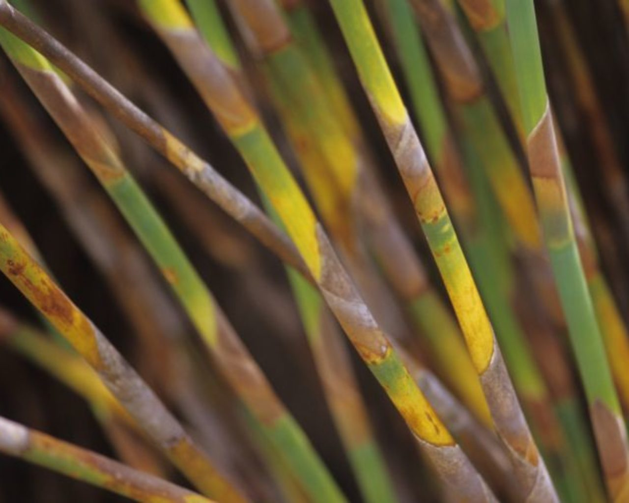 Colorful reed